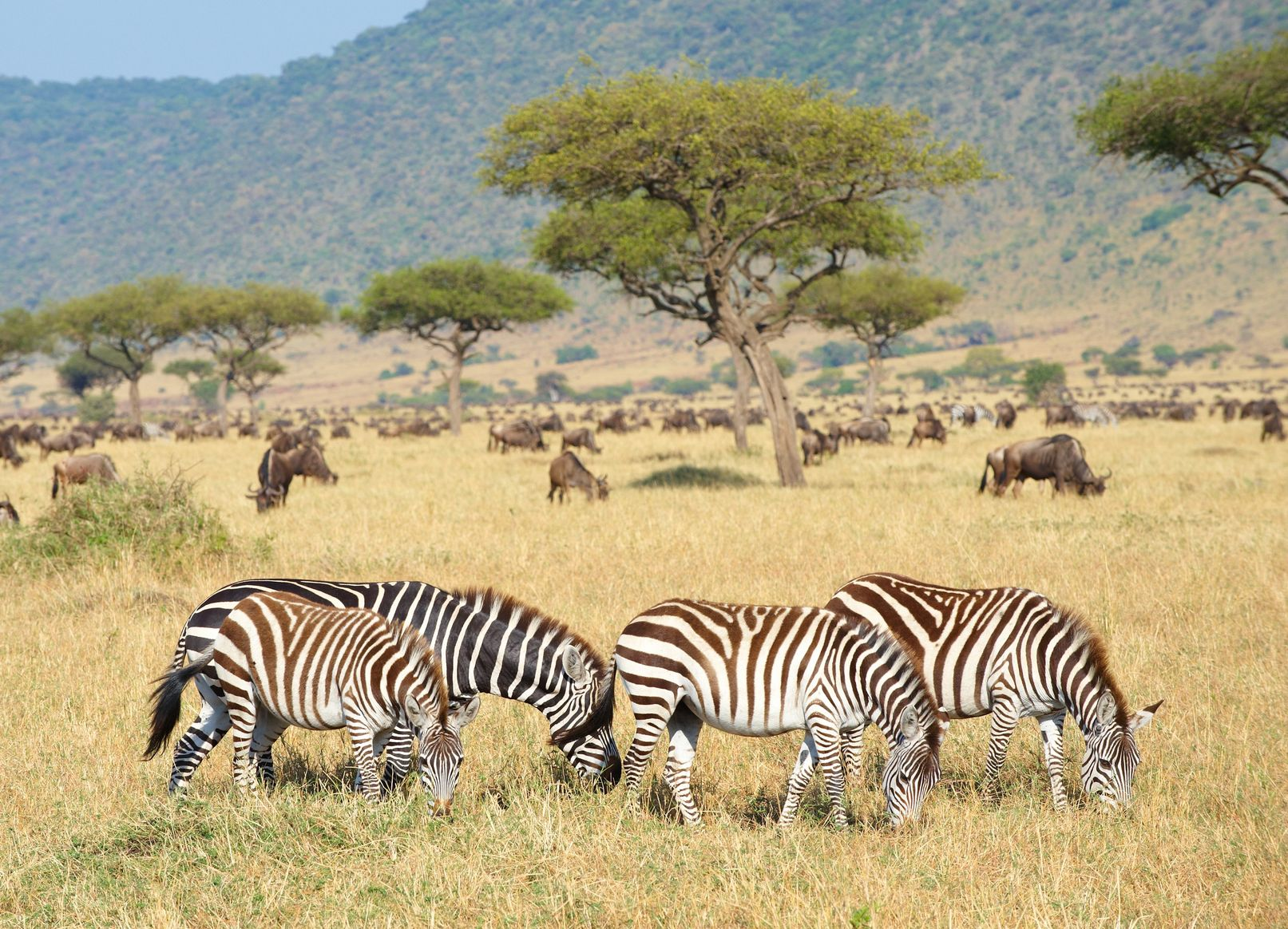 FTG-Zebra-South-Africa